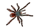 Antilles pinktoe tarantula male on a white background (Spider)