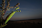 Praying mantis on plant at sunset France (mantis)