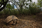 Berlandier's Tortoise South Texas USA (Texas Tortoise )