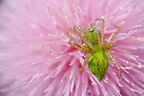 Green lynx spider on pink flower South Texas USA (Spider)