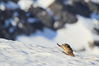 Marmot and young at the exit of the burrow in the snow Alps (Alpine marmot )