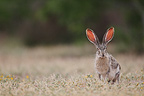 Black-tailed Jackrabbit standing in grass South Texas USA (Black-tailed Jackrabbit)