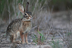 Desert cottontail in the desert south Texas USA (Desert Cottontail)