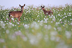 White-tailed deers in desert flowers South Texas USA (White-tailed deer)