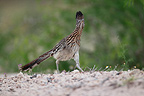 Greater roadrunner walking in the desert south Texas USA� (Greater Roadrunner)