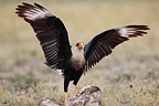 Crested Caracara on the ground in the desert, South Texas, USA
