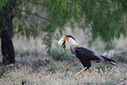 Crested Caracara walking in desert South Texas USA (Crested caracara)