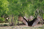 Turkey vulture warming its wings, South Texas, USA