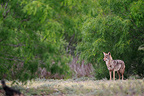 Male coyote standing in a clearing south Texas USA (Coyote )