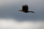 Great tailed Grackle female in flight South Texas USA (Great tailed Grackle)