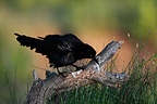Great tailed Grackle male on a branch South Texas USA (Great tailed Grackle)