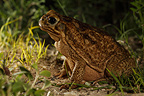 Giant Toad in the grass south Texas USA (Giant toad)
