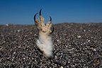 Claw of a dead Short-eared Owl in the sand, Yellowstone NP, USA