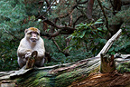 Barbary Macaque sitting on a log lying� (Barbary macaque)