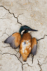 European Kingfisher lying dead on a dry pond, Camargue, France