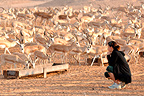 Tourist and Mountain gazelles, Sir Bani Yas Island, Abu Dhabi . Anantara hotel chain's Desert Island Resort has implemented a program to save some endangered species in the mountains.