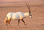 Arabian Oryx in the desert, Sir Bani Yas, Abu Dhabi