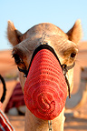 Portrait of Camel with a muzzle in the desert, Liwa oasis, Abu Dhabi. This district, also called