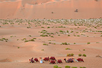 Camels in the desert, Liwa oasis, Abu Dhabi. Anantara. This district with its red tinted sand dunes, also called