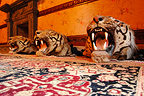 Tiger heads and Carpet, Udai Bilas Palace, Dungarpur, India. Home of the local maharaja, it's open to tourists . The secret closet in the maharaja room with the kamasutra positions is not to be missed.