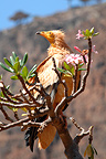 Egyptian Vulture on a Desert Rose, Socotra, Yemen