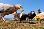 Egyptian Vultures feeding on the ground, Socotra, Yemen