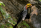 Yellow-billed hornbills searching in bark of a tree Zimbabwe (Yellow-billed hornbill)