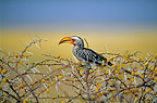 Yellow-billed hornbill in a flowering thorny bush Namibia (Yellow-billed hornbill)