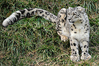 Snow leopard in the grass, Nabu Center, above lake Kol Ysik near town of Cholpon Ata, Kyrgyzstan . Nabu, A German organization aiming to fight poaching and reintroduce leopards, has 7 resident adult leopards and is headed by a Russian named Igor.
