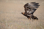 Golden Eagle ground having spotted its prey Kyrgyzstan (Golden Eagle)