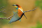 European Bee-eater stretching on a branch Provence France (European Bee-eater)