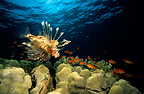 Lionfish hunting of red Barbers Egypt (Red lionfish)