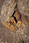 Young Dwarf mongooses awaiting the return of their mother (Dwarf mongoose)