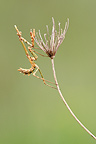 Empusa a common Umbelliferae France (mantis)
