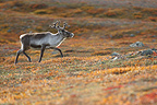 Wild reindeer in the Sarek NP in Sweden (Reindeer)