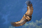 Griffon Vulture in flight, Rocher du Caire, Drome, France