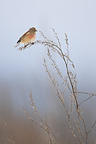 Eurasian Linnet at the end of the winter France (Eurasian Linnet)