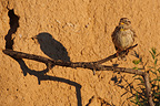 Rock Sparrow on a branch with shade France (Rock Sparrow)