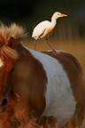 Cattle Egret on a Horse Marais du Charnier France (Horse)