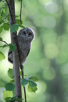 Young tawny wood-owl in a tree Belgium (Tawny Owl)