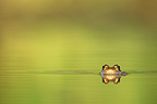 European Frog in water at spring Belgium