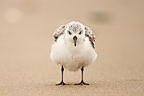 Sanderling in autumn Netherlands (Sanderling)