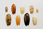 Olive Shells of different species in studio