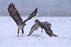 Battle of Western buzzards in snow France� (Western buzzard)