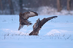 Battle of Western buzzards in snow France  (Western buzzard)