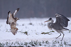 Confrontation between a buzzard and a Grey Heron France (Western buzzard)