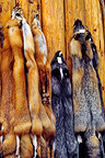 Furs of artic fox sold in an touristic shop in Alaska (Arctic fox)