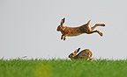 Jumps & courtship behaviour of Brown hares in spring France (European Hare )