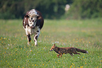 Red fox passing a cow in a meadow in spring�France (Red fox )