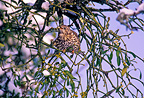 Mistle Thrush eating mistletoe berries in winter France (Mistle Thrush)